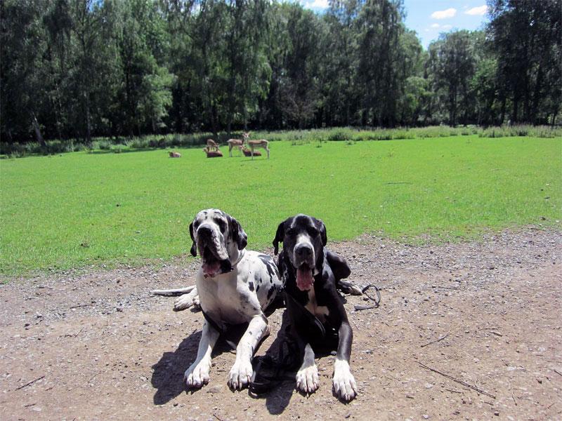 Deutsche Doggen und Rotte Rehe im Hintergrund