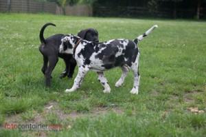 Deutsche Dogge Welpen Training
